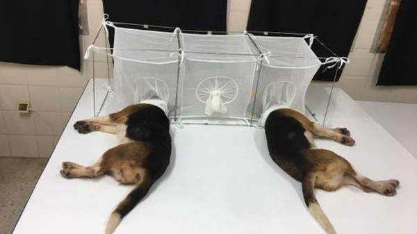 Pokusy na štěňatech, které financoval Fauciho experiment - Sputnik Česká republika