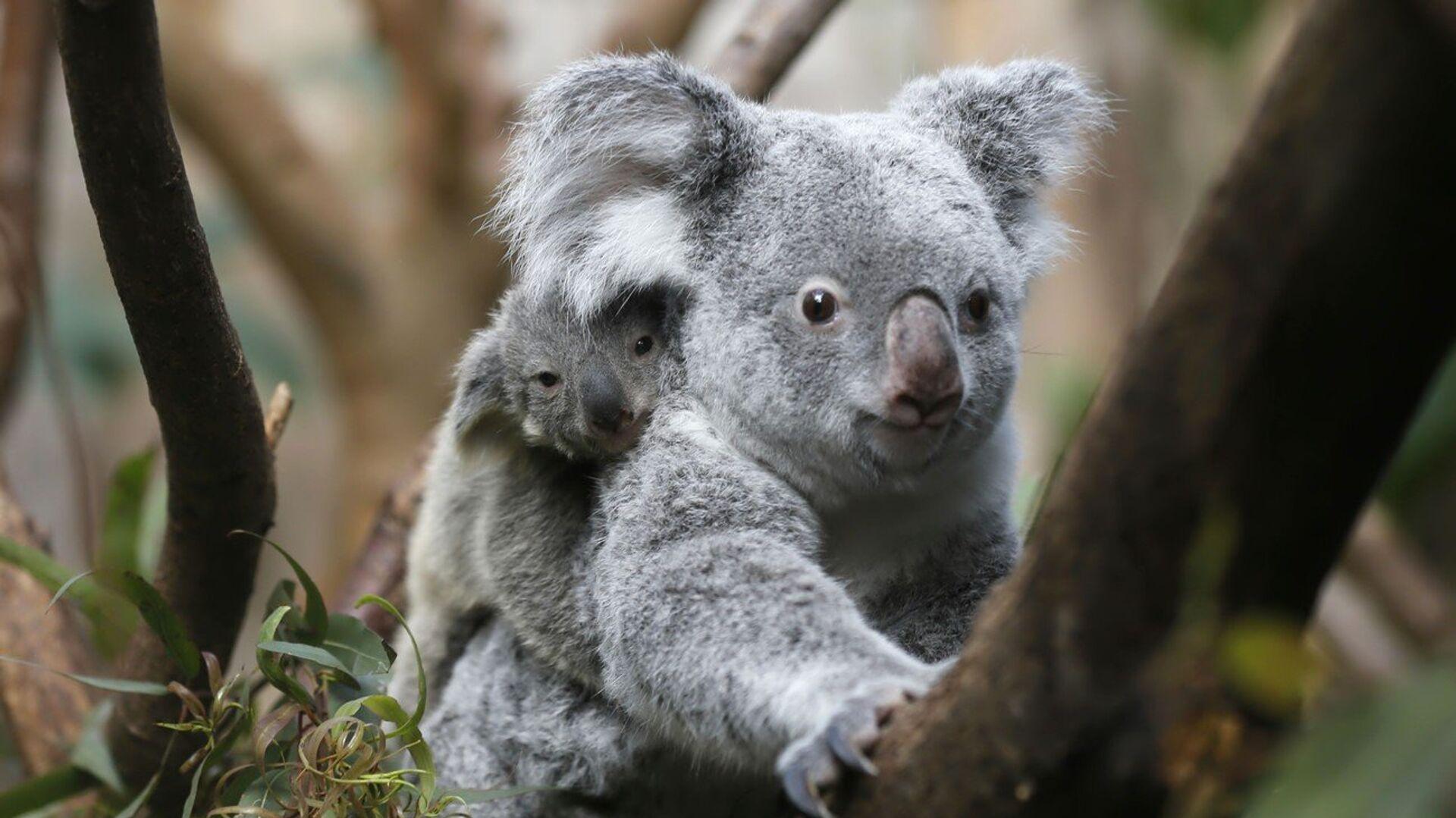 Koala, jedno z nejznámějších australských zvířat - Sputnik Česká republika, 1920, 16.07.2021