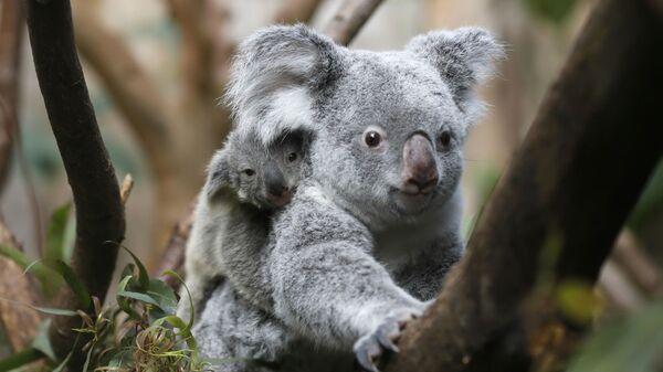 Koala, jedno z nejznámějších australských zvířat - Sputnik Česká republika