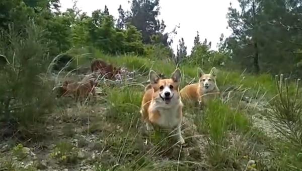 Párek psů corgi adoptoval dva roztomilé malé vlky - Kai a Gerdu (VIDEO) - Sputnik Česká republika