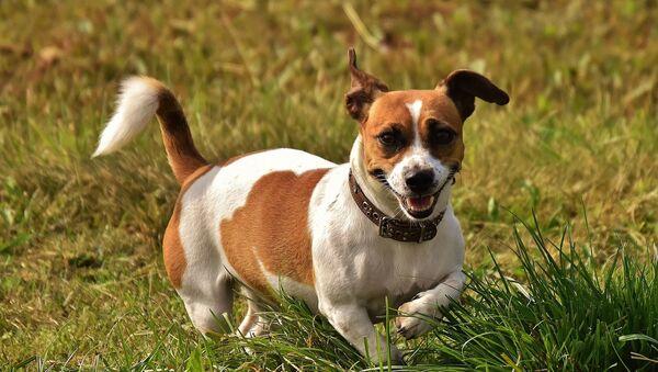 Pes plemene Jack Russell Teriér - Sputnik Česká republika