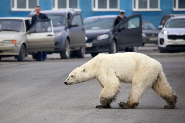 Lední medvěd prochází ruským Norilskem. - Sputnik Česká republika