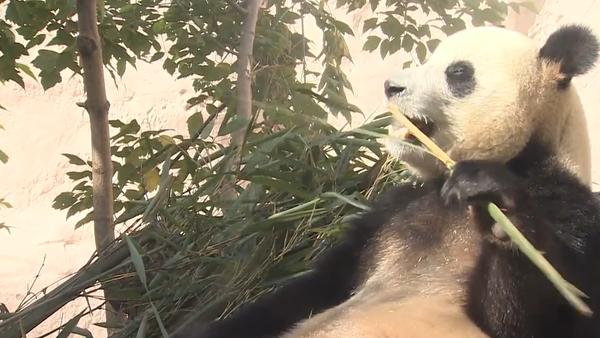 Video: Reality show ze života čínských okouzlujících pand v Moskvě  - Sputnik Česká republika