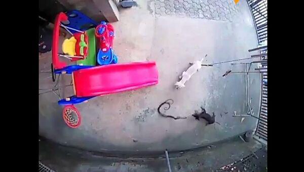 Psi začali bojovat s kobrou a za cenu vlastního života zachránili dítě  - Sputnik Česká republika