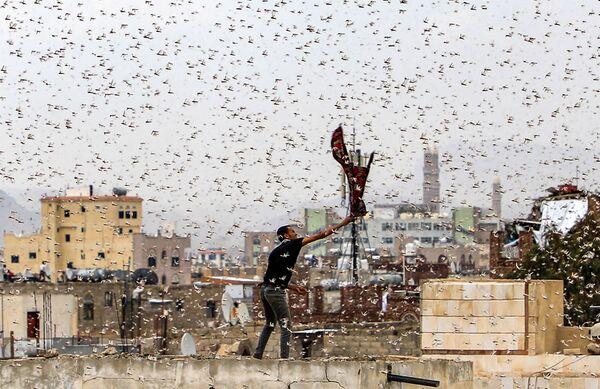 Muž chytá kobylky létající nad hlavním městem Jemenu Sana'a. - Sputnik Česká republika