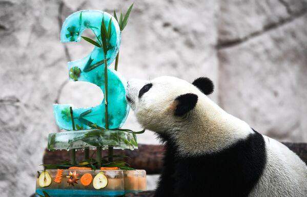 Panda během oslavy narozenin v moskevské zoo. - Sputnik Česká republika