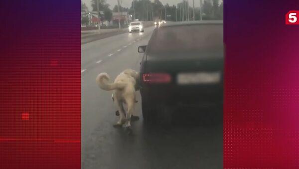 Šokující video: muž přivázal psa k autu a táhl ho po dálnici v Moskvě - Sputnik Česká republika