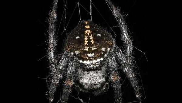 Pavouk Caerostris darwini - Sputnik Česká republika
