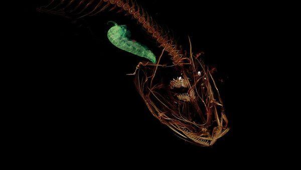 CT snímek ryby Pseudoliparis swirei, která obývá Mariánský příkop - Sputnik Česká republika