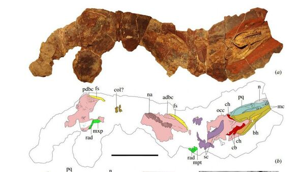 Fosilie žraloka Phoebodus saidselachus  - Sputnik Česká republika