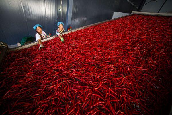 Dělníci třídí chilli papričky, provincie Guizhou, Čína - Sputnik Česká republika