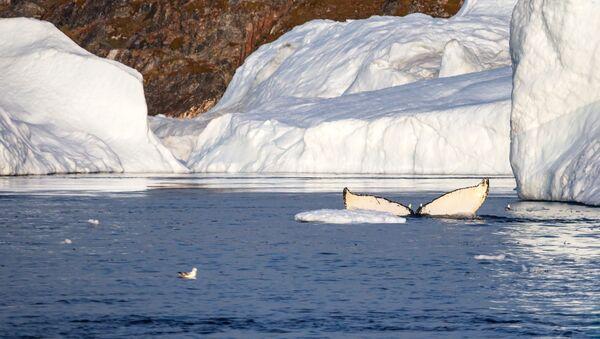 Velryba v grónském zálivu Ice Fjord - Sputnik Česká republika