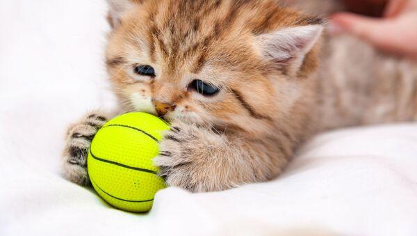 Britská krátkosrstá kočka. Ilustrační foto - Sputnik Česká republika