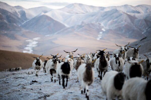 Čching-chaj-Tibet. Ovce - Sputnik Česká republika