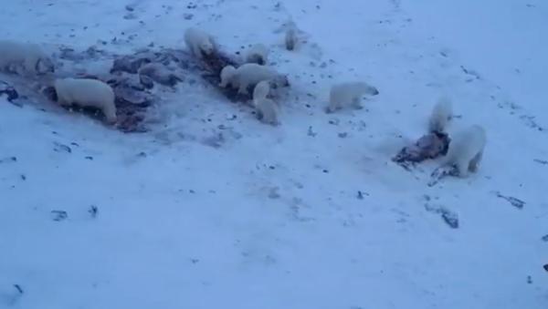 Desítky hladových ledních medvědů přišly do ruské vesnice - Sputnik Česká republika