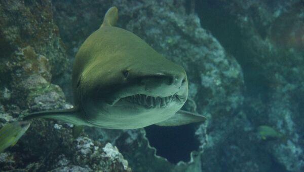 Velký bílý žralok - Sputnik Česká republika