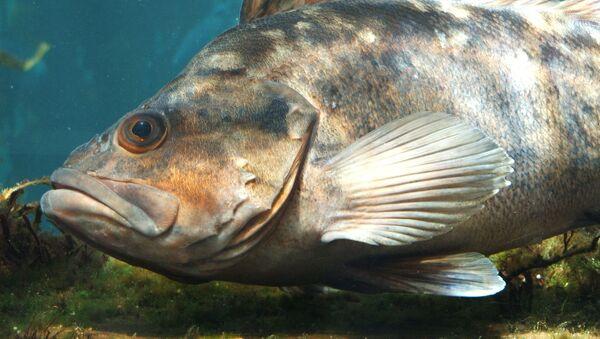 Mořský okoun v oceanáriu Monterey Bay v USA - Sputnik Česká republika