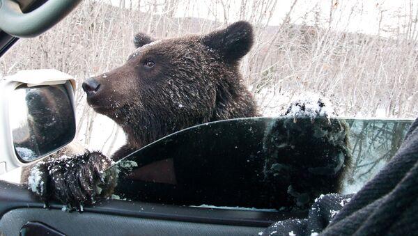Hnědý medvěd žebrá na silnici v Sachalinské oblasti. - Sputnik Česká republika
