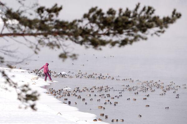 Divoké kachny na břehu Jeniseje v Divnogorsku v Krasnojarském kraji  - Sputnik Česká republika