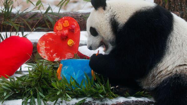 Panda Dindin s valentýnkou od pandy Žui v moskevské zoo - Sputnik Česká republika