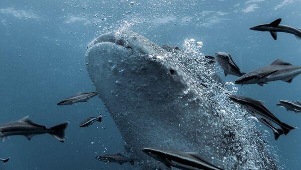 Žralok velrybí - Sputnik Česká republika
