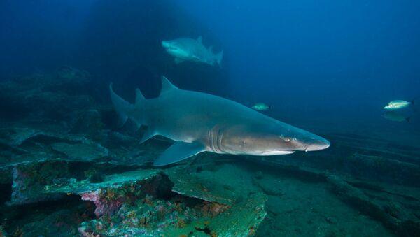 Žralok tygří - Sputnik Česká republika