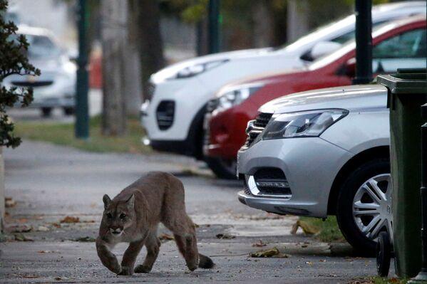 Puma na ulici Santiago - Sputnik Česká republika