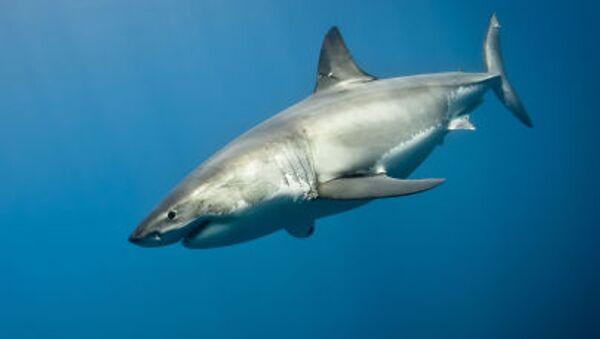 Velký žralok bílý - Sputnik Česká republika
