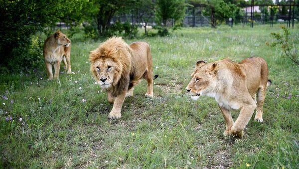 Lev s lvice na území safari parku v Taiganu na Krymu - Sputnik Česká republika