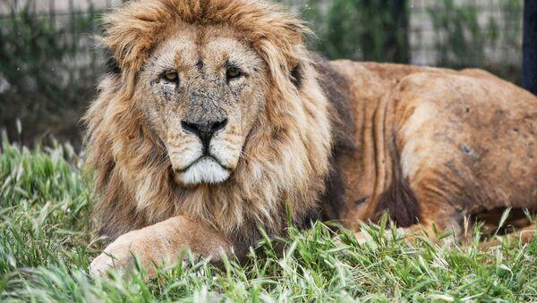 Lev v safari parku Taigan na Krymu - Sputnik Česká republika