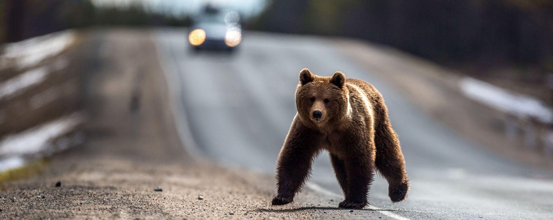 Medvěd po zimním spánku přebíhá přes silnici v ruské Karélii - Sputnik Česká republika, 1920, 23.08.2021