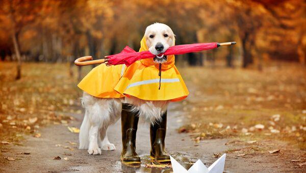 Zlatý retrívr v pláštěnce, s deštníkem a botami - Sputnik Česká republika