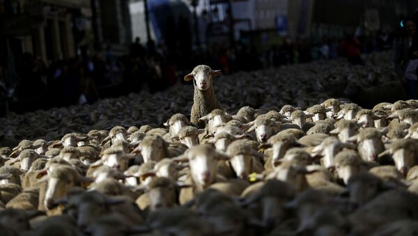 Stádo ovcí - Sputnik Česká republika