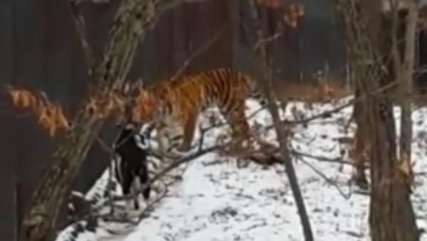 Tygr Amur se spřátelil s kozlem Timurem místo toho, aby ho snědl - Sputnik Česká republika