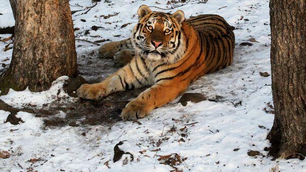 Tygr amurský - Sputnik Česká republika