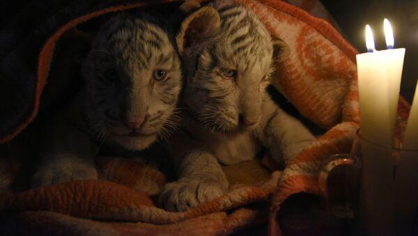 Bengálští tygříci v Jaltské zoologické zahradě - Sputnik Česká republika