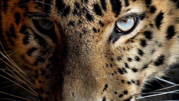 Leopard. Ilustrační foto - Sputnik Česká republika
