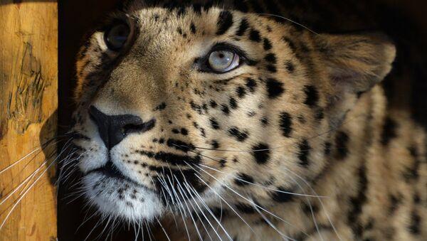 Leopard z Prahy - Sputnik Česká republika