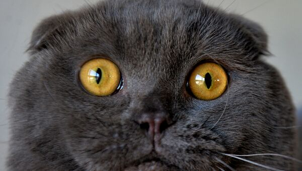 Skotská klapouchá kočka na výstavě v Biškeku - Sputnik Česká republika