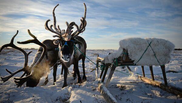 Pastva jelenů v Něneckém autonomním okruhu RF - Sputnik Česká republika