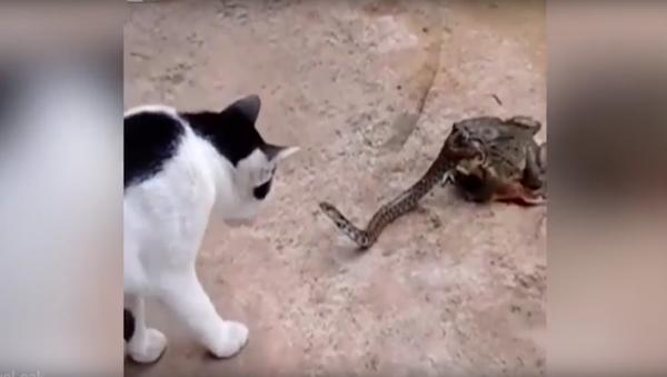 Kočka se poprala s hadem, jehož už z poloviny pohltila ropucha - Sputnik Česká republika