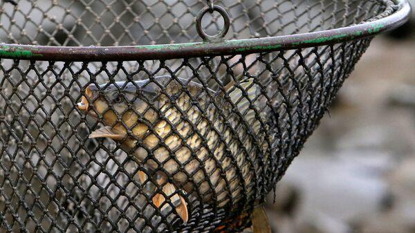 Ryba sebou hází v síti - Sputnik Česká republika