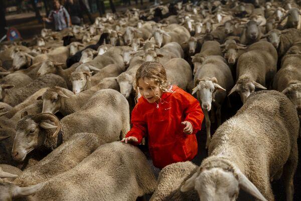 Chlapec se stádem ovcí jde centrem Madridu - Sputnik Česká republika