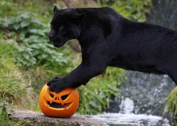 Černý jaguár Goši s halloweenskou tykví v zoo v Chesteru, Velká Británie - Sputnik Česká republika