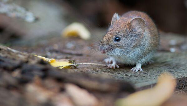 Myš - Sputnik Česká republika