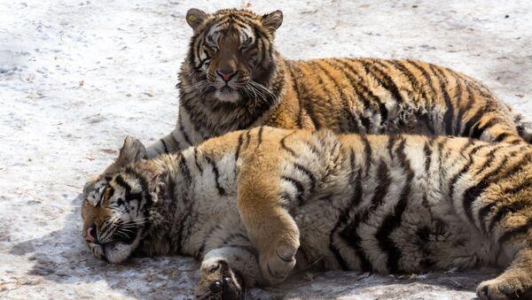Tygři v Parku Sibiřských tygrů v Charbinu - Sputnik Česká republika