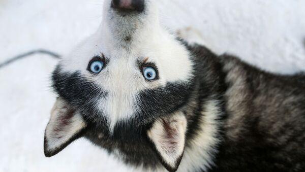 Pes husky. Ilustrační foto - Sputnik Česká republika