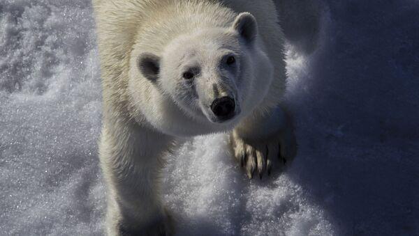 Polární medvěd - Sputnik Česká republika