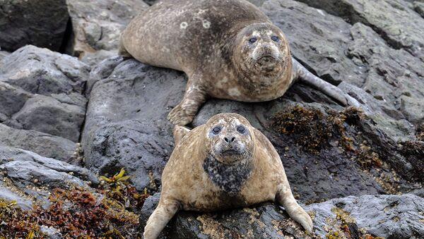 Na Kamčatce se vyskytuje vzácný druh tuleně obecného, jehož délka těla dosahuje dvou metrů. To je jeden z největších druhů tuleňů - Sputnik Česká republika