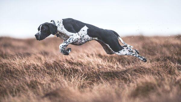 Снимок-победитель конкурса DPOTY в категории Dogs at Work фотографа Sarah Caldecott - Sputnik Česká republika